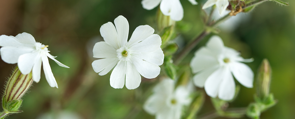 White Campion Flower