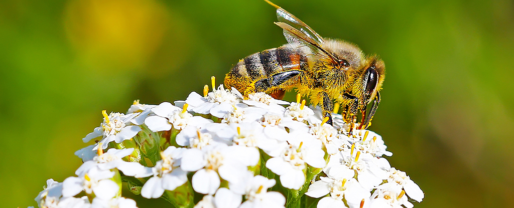 Bee with Yarrow Flower head